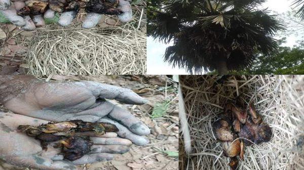 ঝালকাঠিতে ক্ষেতের ধান খাওয়ায় বাবুই পাখির