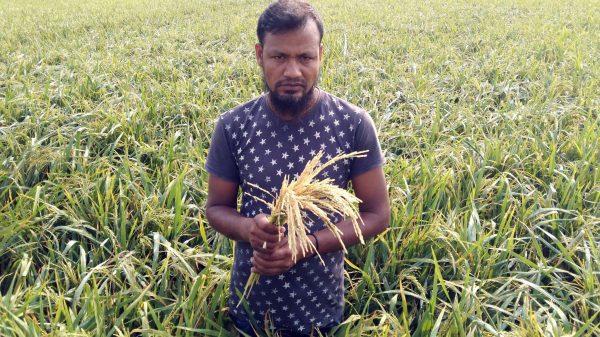 আগৈলঝাড়ায় কালবৈশাখীর গরম হাওয়ায় বোরো ধানের ব্যাপক ক্ষতি